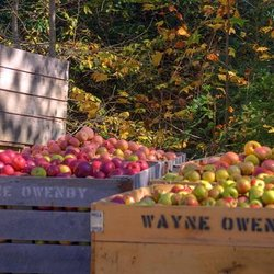 Photo of Freshly picked apples in crates